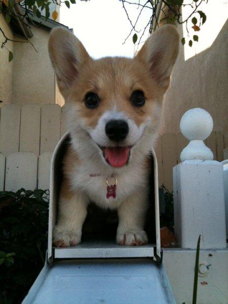 corgi in mailbox