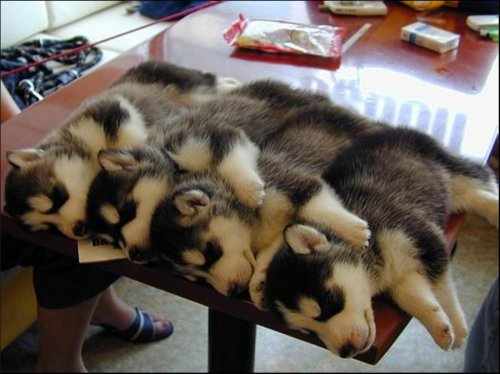 stackable huskies