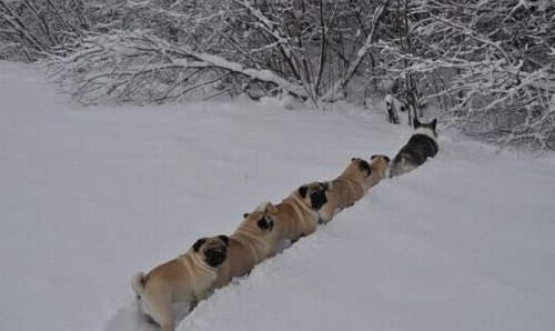 corgi leading line of pugs