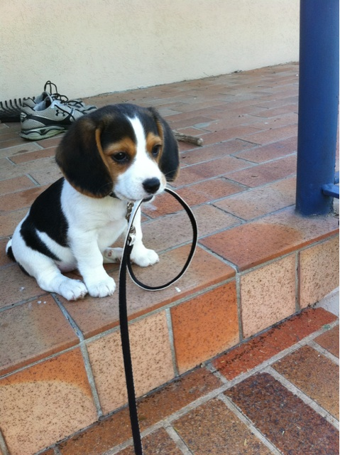 puppy waiting to be walked
