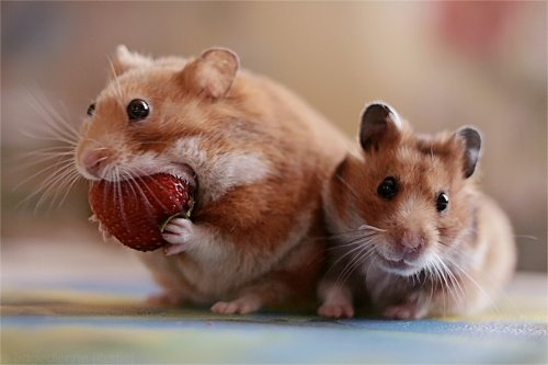 hamster eating a strawberry