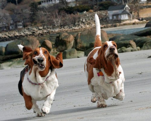basset hounds running photos