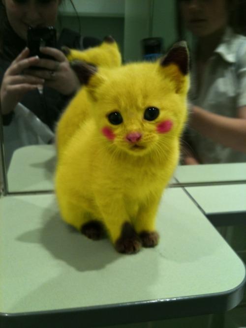 cat that looks like pikachu