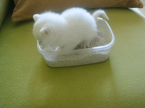 tiny kitty in tiny litter box