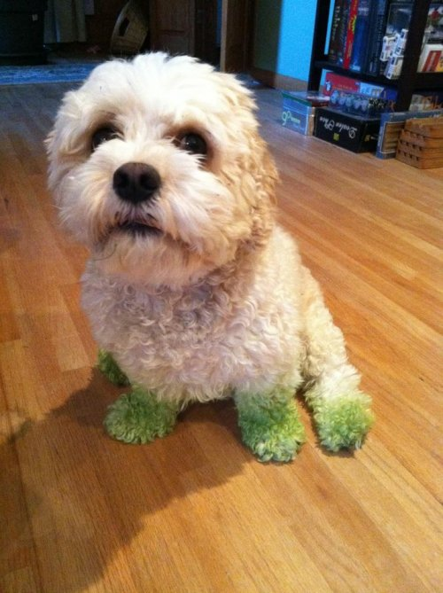 dog with green feet after mowing the lawn