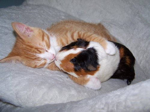 cat hugging guinea pig