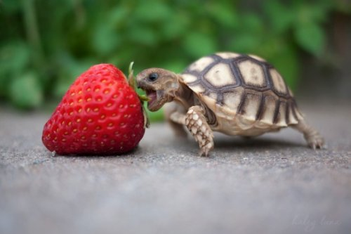 tortoise turtle eating a strawberry