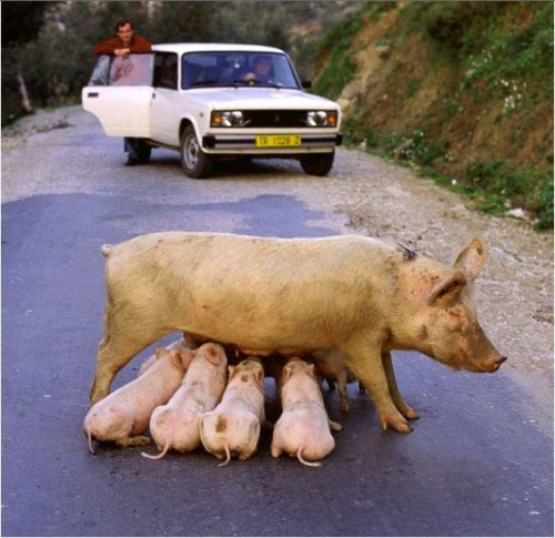pigs piglets breastfeeding in public