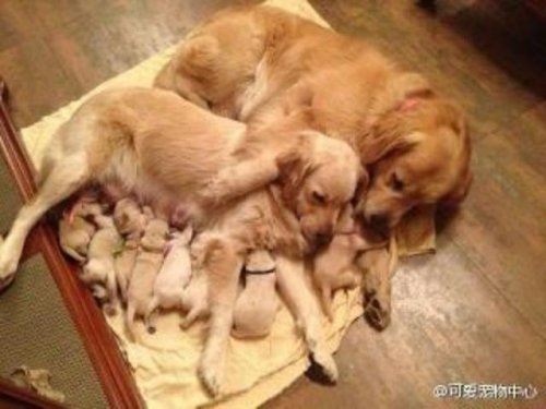 golden retriever family puppies nursing