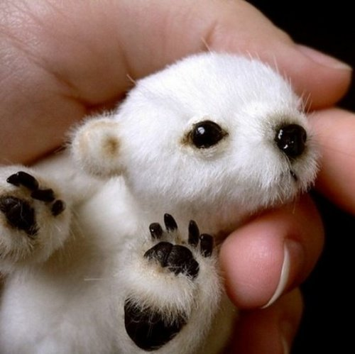 tiny baby polar bear