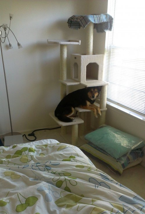 dog in cat scratch post
