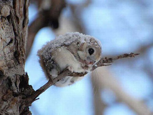 momonga japanese squirrel