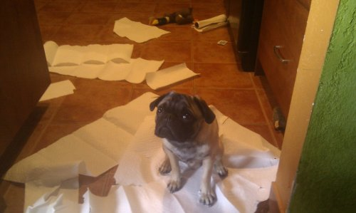 pug with paper towels