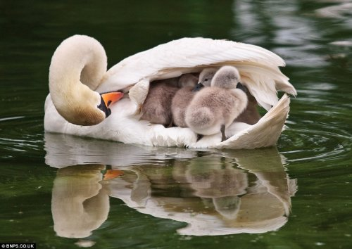 baby swans riding on mother swan boat