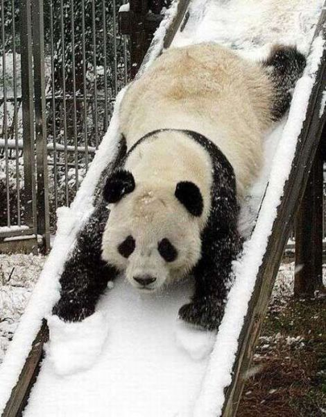 panda in snow