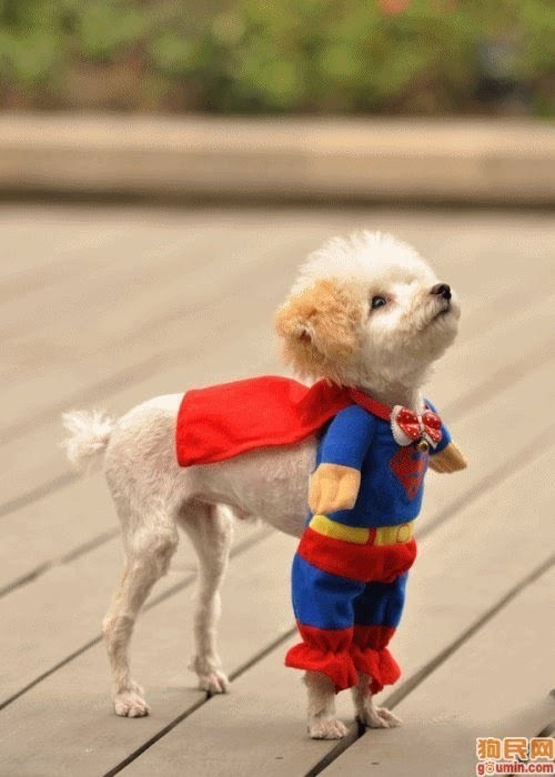 puppy in superhero costume