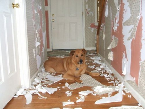 dog ruining wallpaper