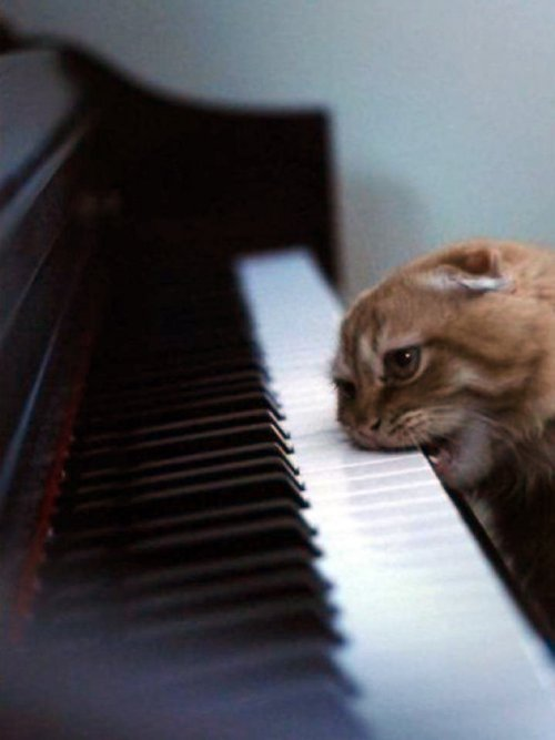 cat biting piano