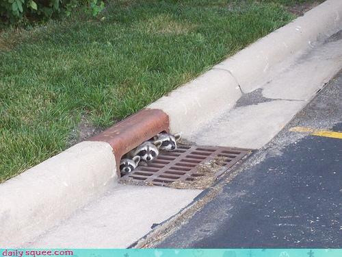 baby raccoons peeking out of storm drain