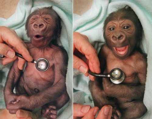 baby gorilla surprised by cold stethoscope