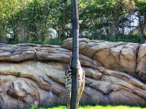 giraffe hiding behind a tree