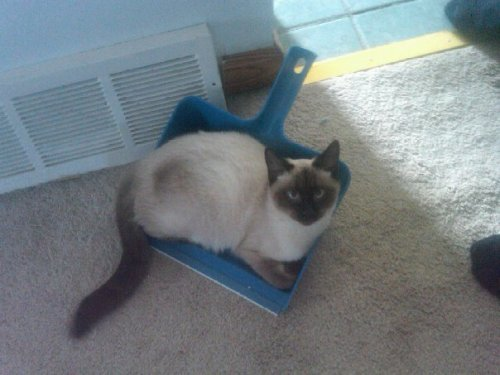 cat in a dust pan