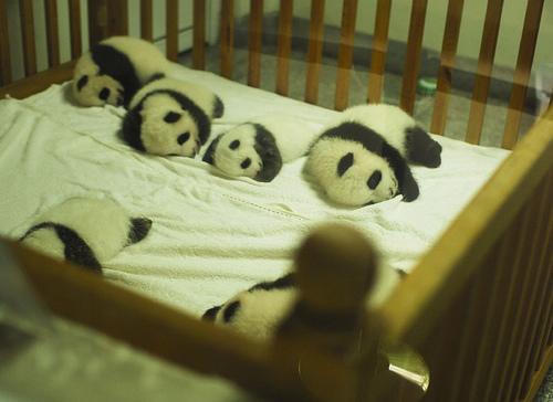 baby pandas sleeping in crib