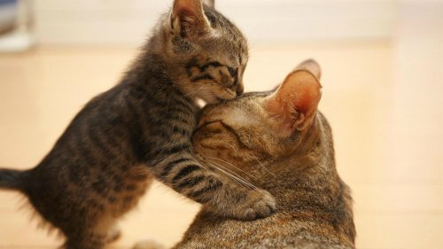 kitten kissing mothers head