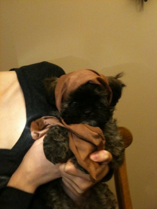 ewok puppy