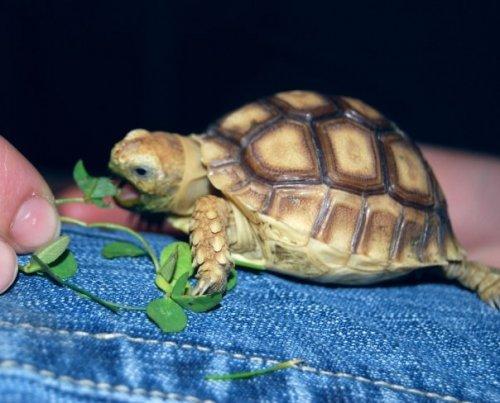 turtle eating a leaf