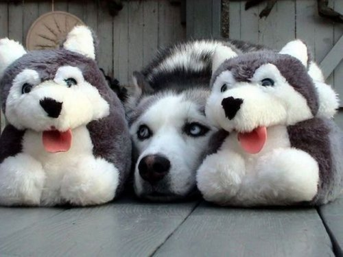 dog husky hiding amongst stuffed animals