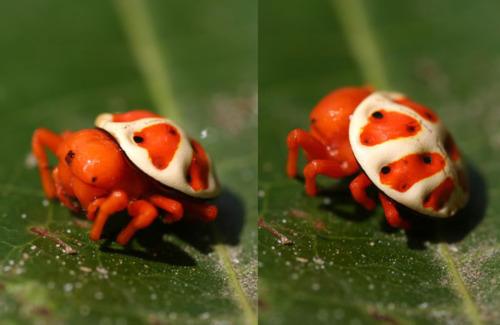 orange tortoise spider