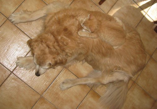 kitten lying on top of same color dog