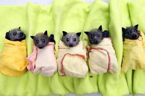tiny bats wrapped in blankets