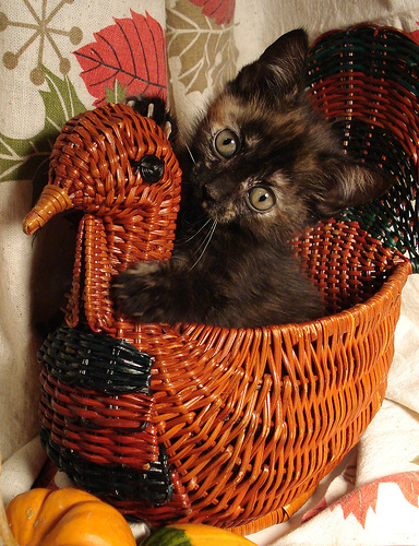 thanksgiving kitten