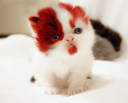 kitten with red beard
