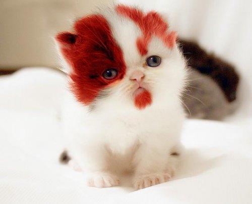 kitten with red beard