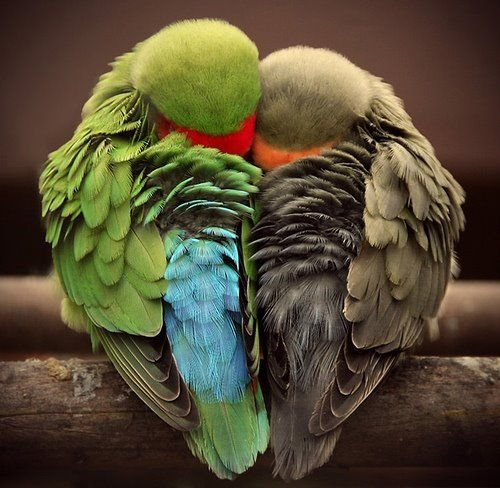 parrots cuddling in shape of heart