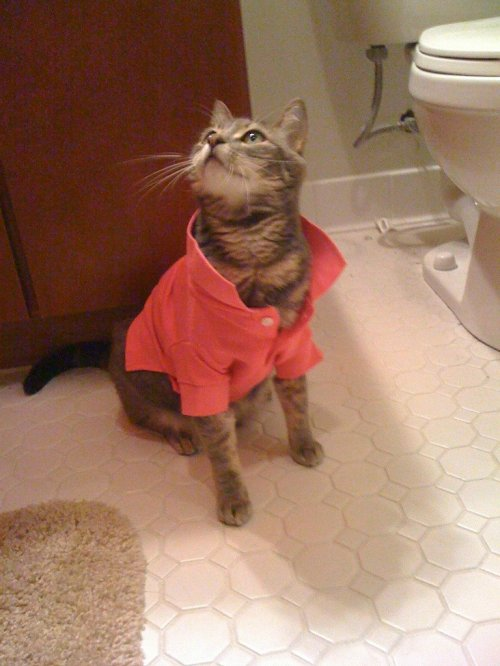 cat in polo shirt