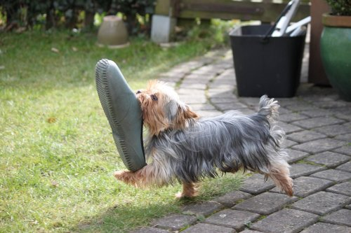 dog with gardening shoe