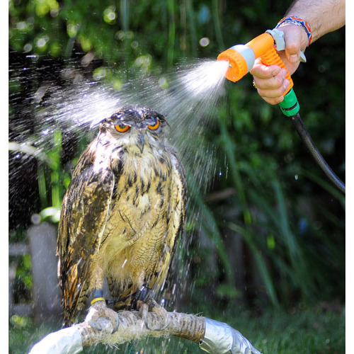 owl getting a bath