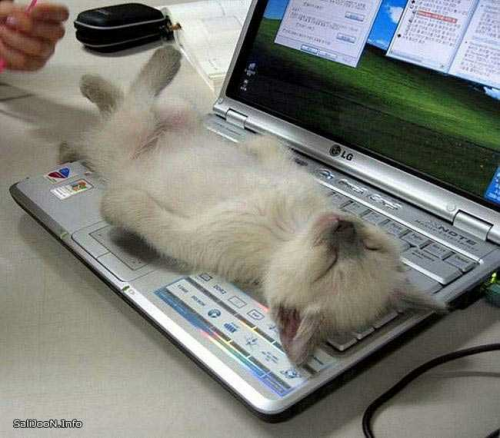kitten on laptop