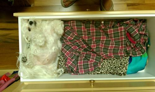 dog in pajama drawer