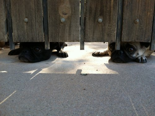 pugs peeking out from under the fence