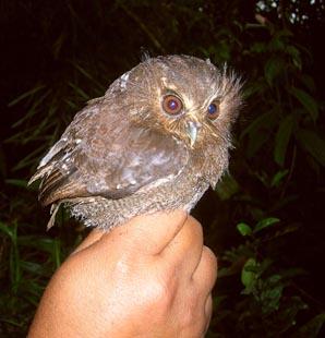 long whiskered owlet