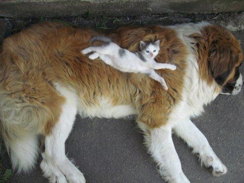 kitten sleeping on large dog saint bernard
