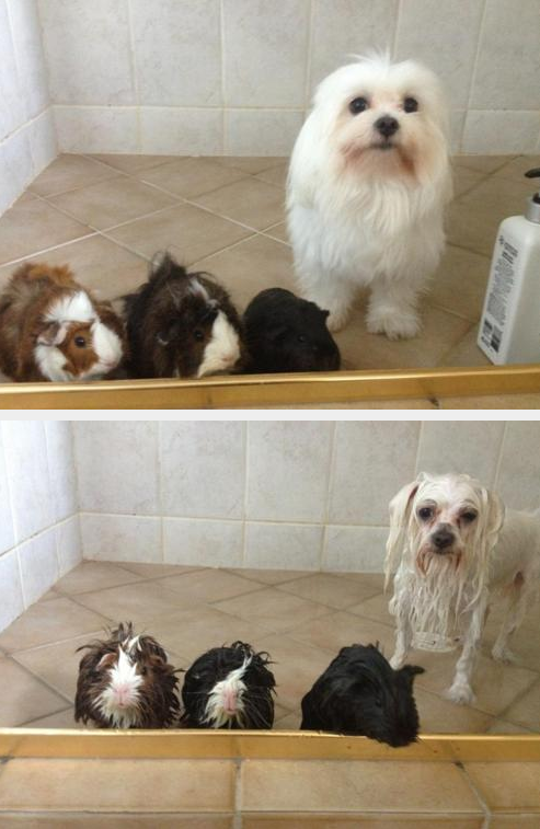 guinea pigs and dog shower