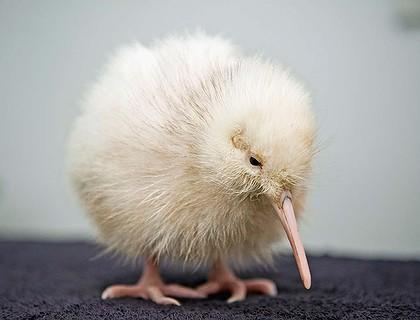 rare white kiwi chick