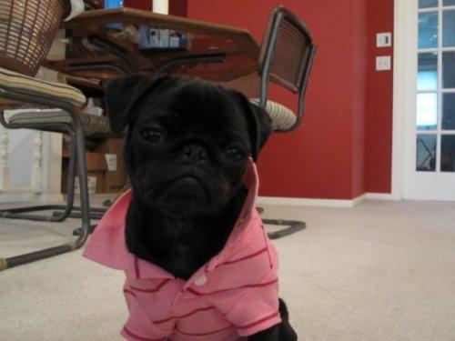 pug in polo shirt