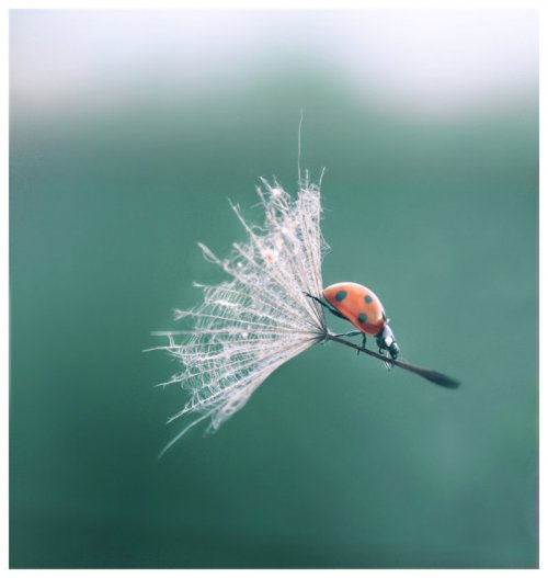ladybug riding a dandelion seed